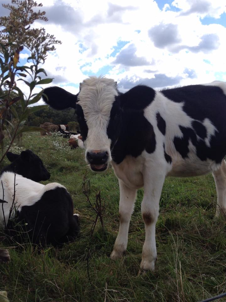 Calves are getting big!