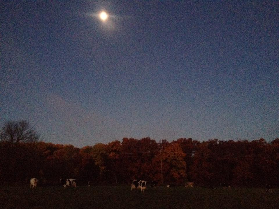 Cows grazing in the early morning moonlight.