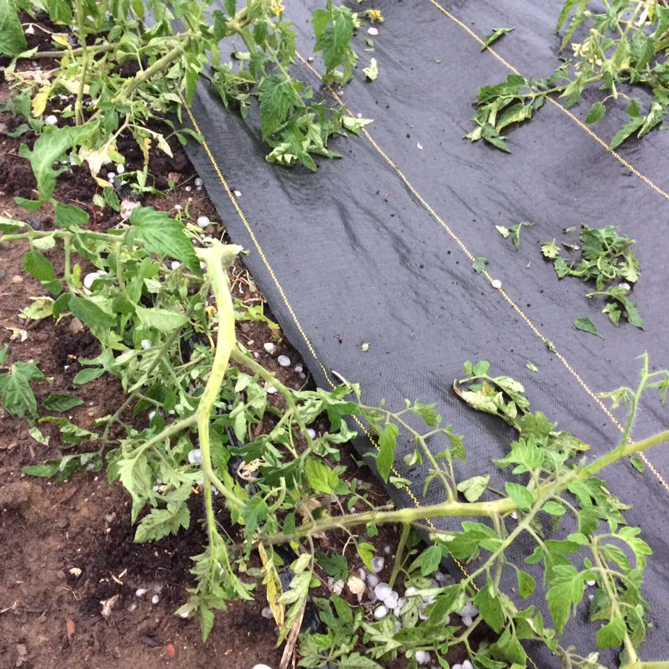 heirloom tomato damage