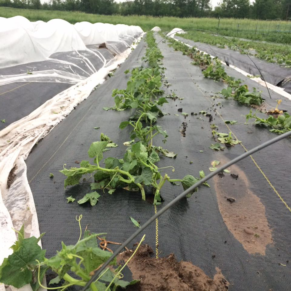 wind blew row cover off of cucumber rows and exposed them to hail