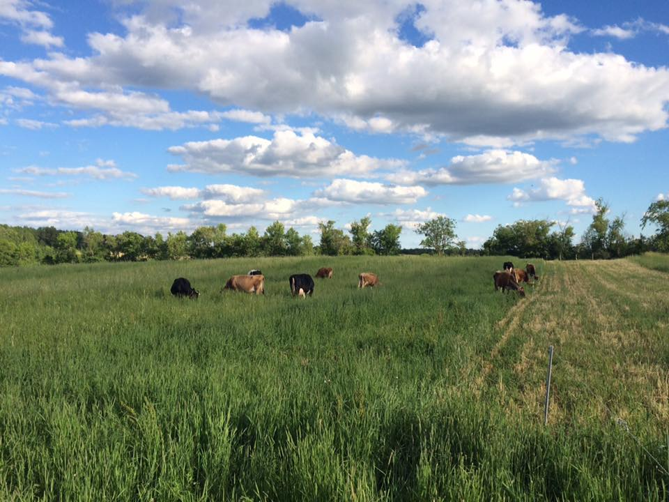 the cows are enjoying lots of salad, too!
