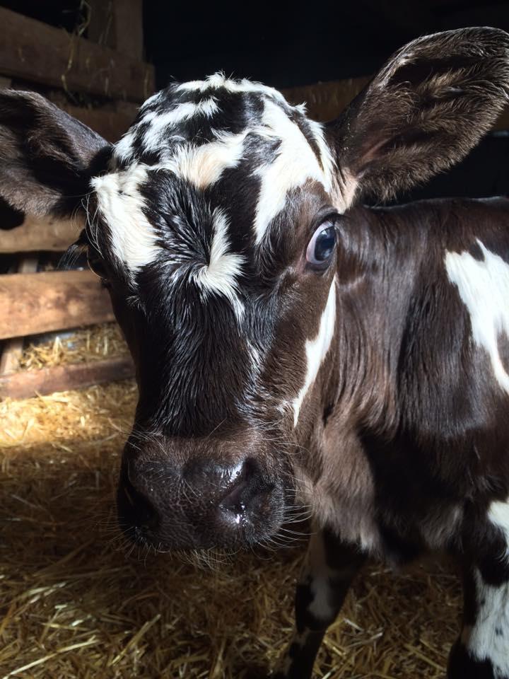 New calf!