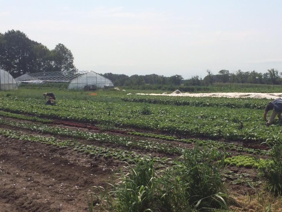 first pepper harvest!
