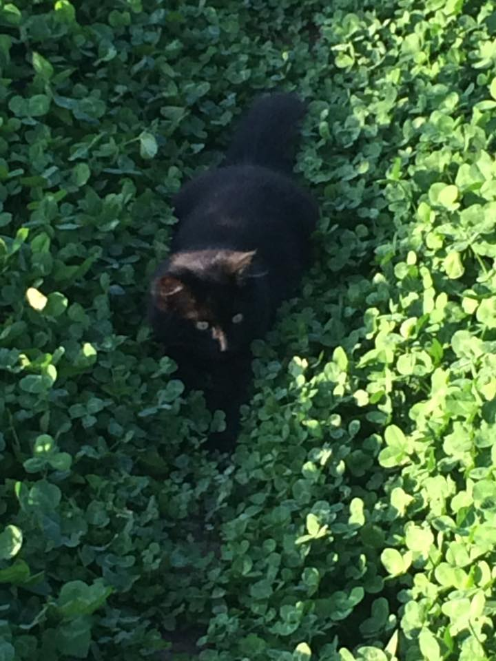 Momo in the clover looking for mice!