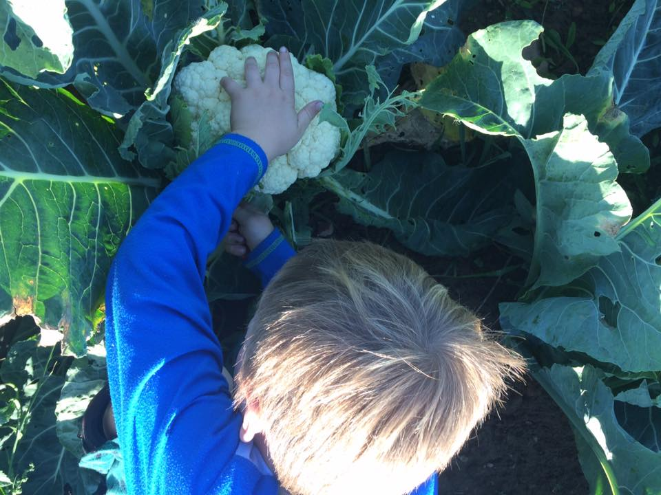 Otto harvesting cauliflower for our dinner