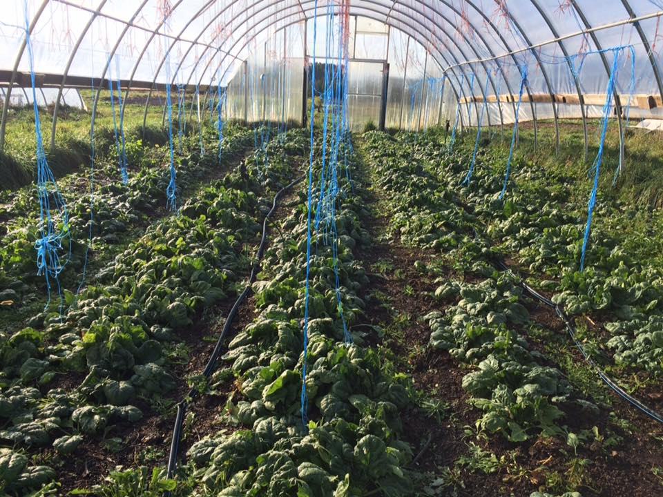green house spinach