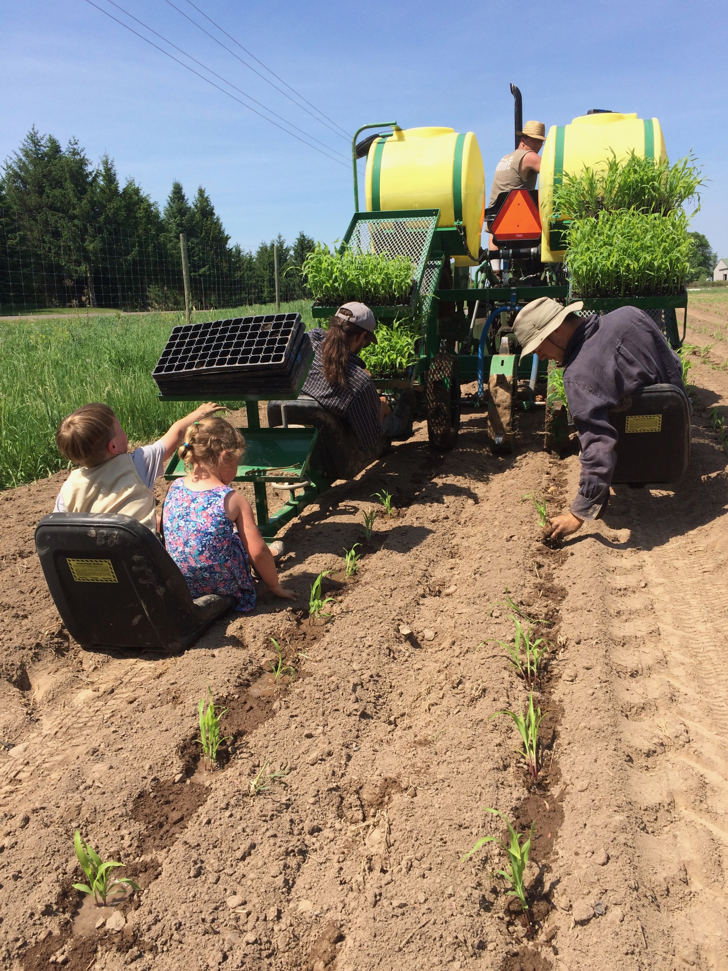 transplanting sweet corn