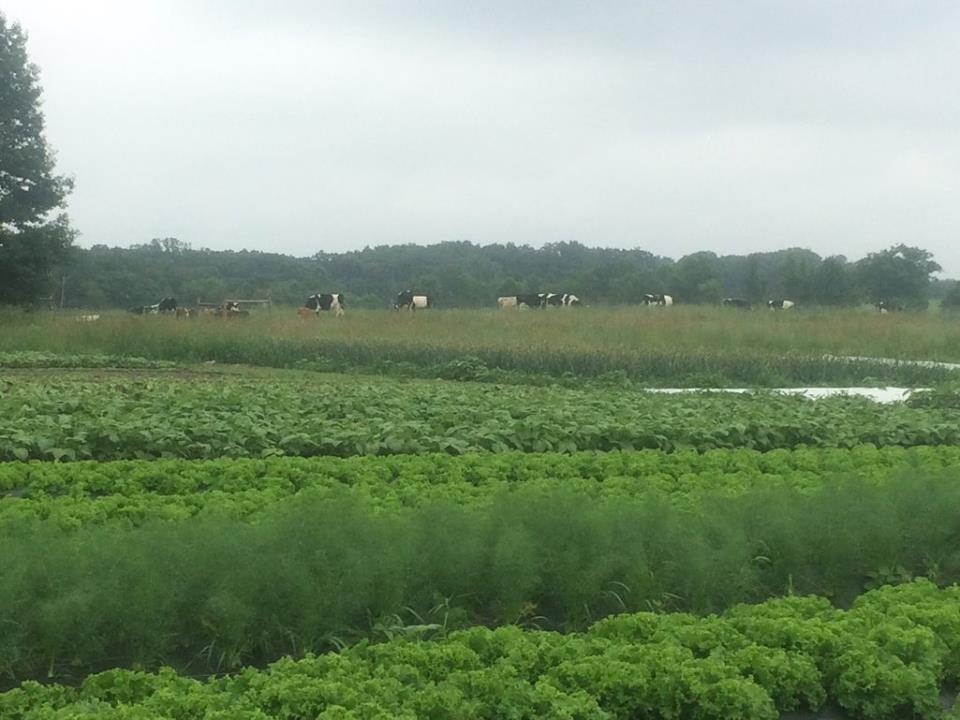 cows grazing in pasture near veggie fields