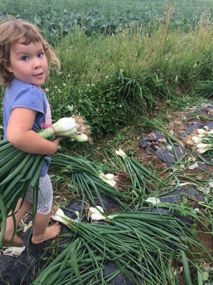 Sadie gathering onions