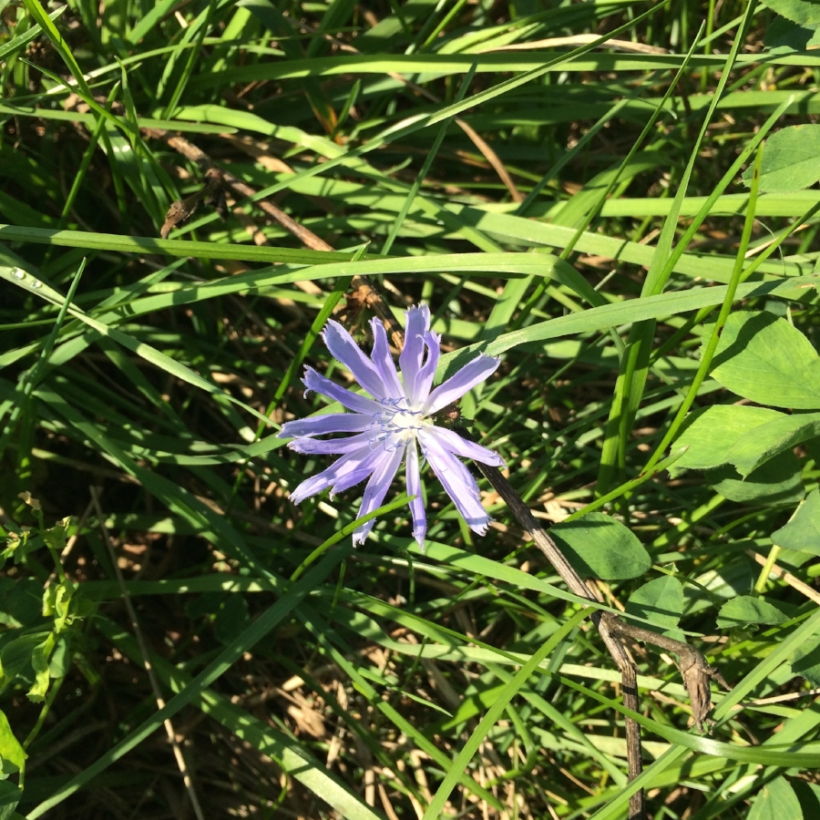 Chickory in the pasture