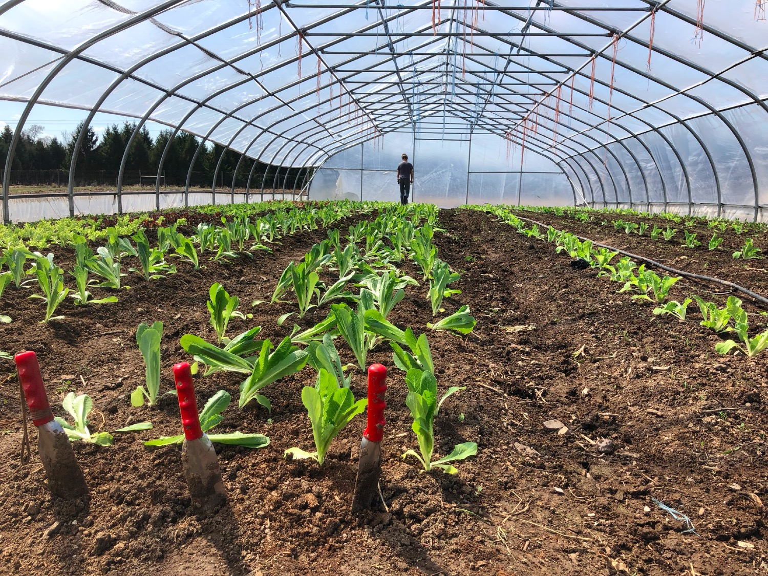 hoop houses planted with greens for first CSA boxes