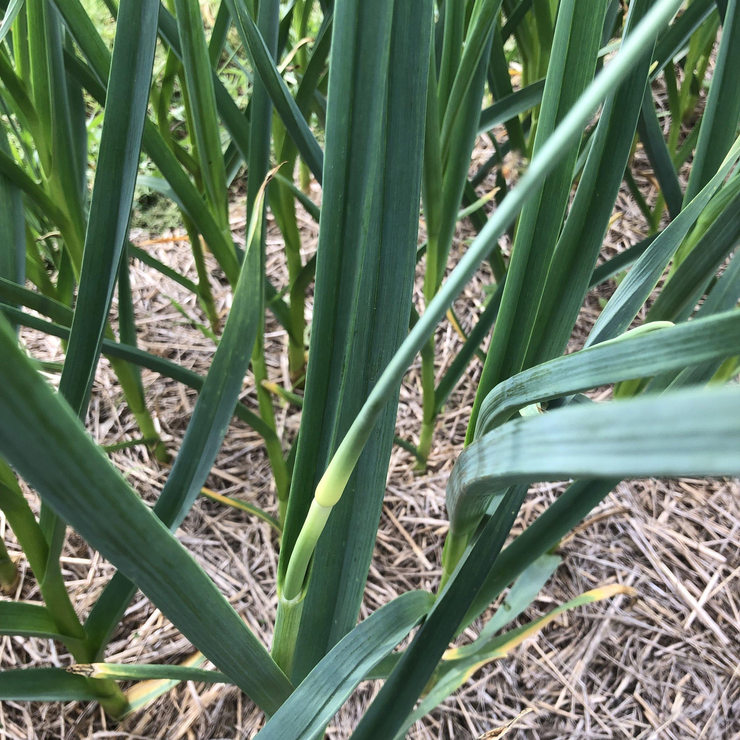 garlic scapes next week!