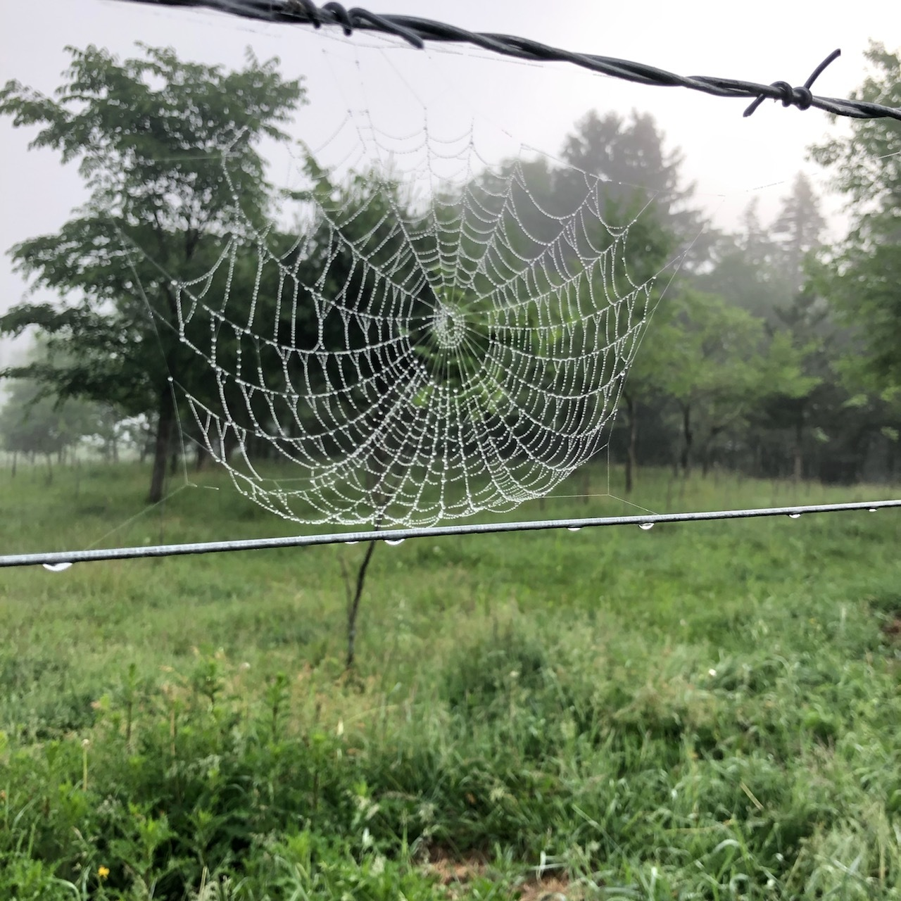dew on the webs