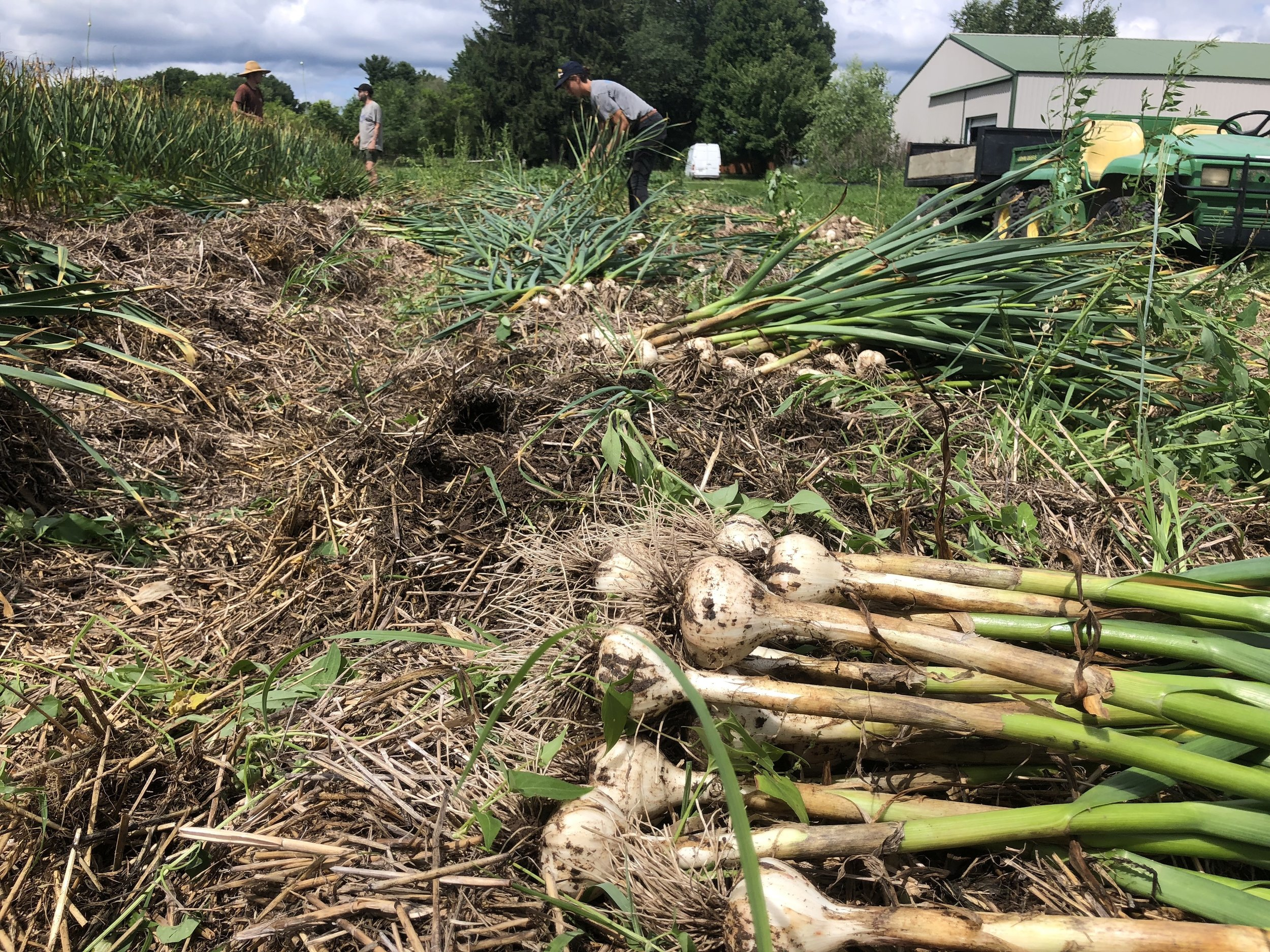 Garlic Harvest 2019!