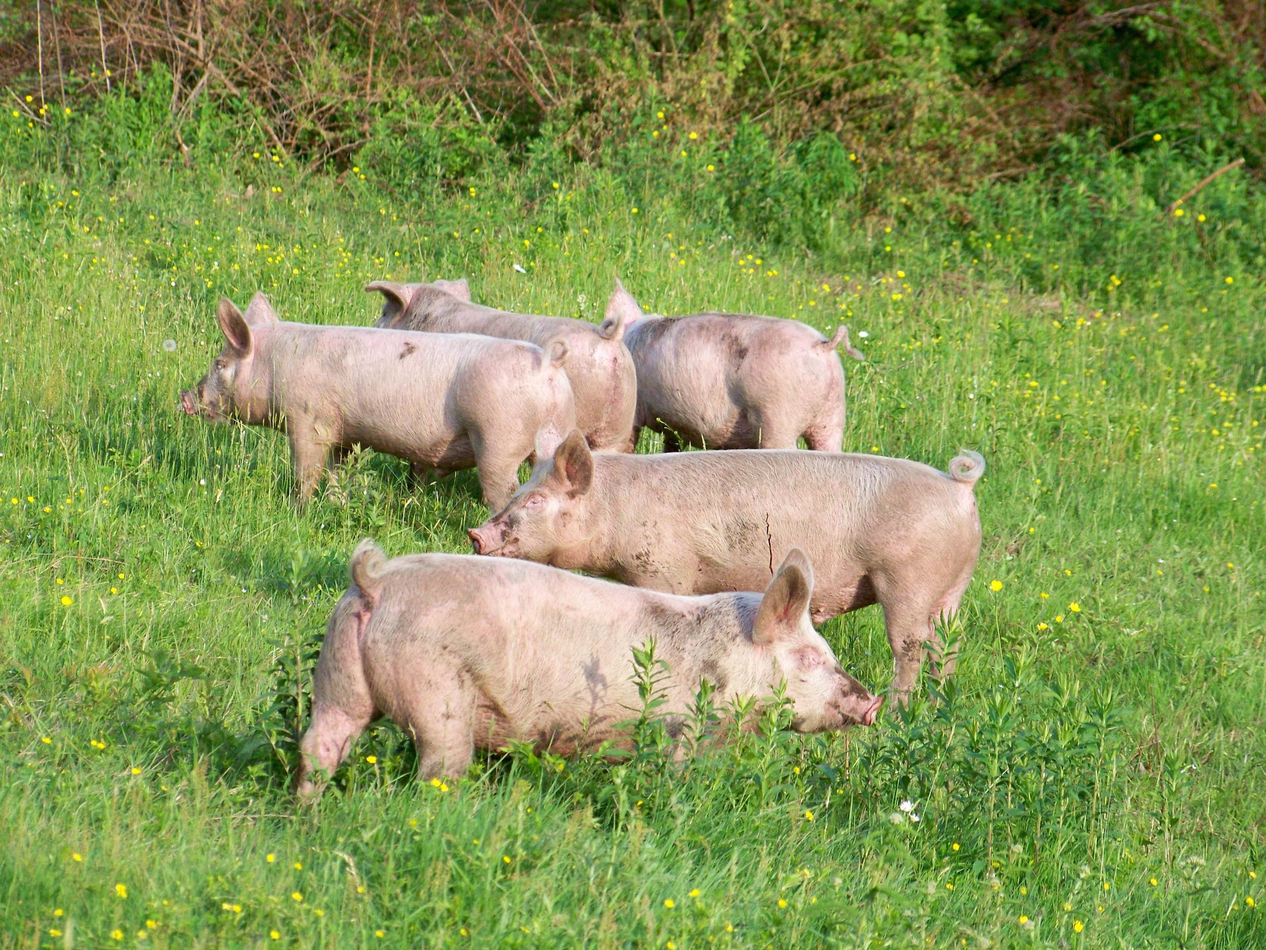 more pigs.jpg
