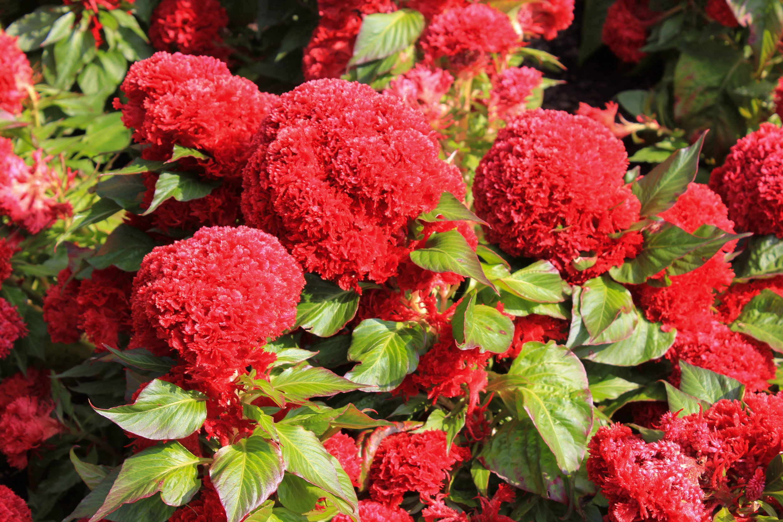 red flowers 2-6878.jpg