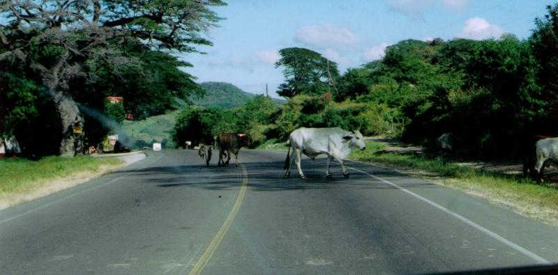 48-Cattle Crossing 12-9-05.jpg