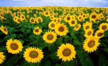 sunflower-fields-small