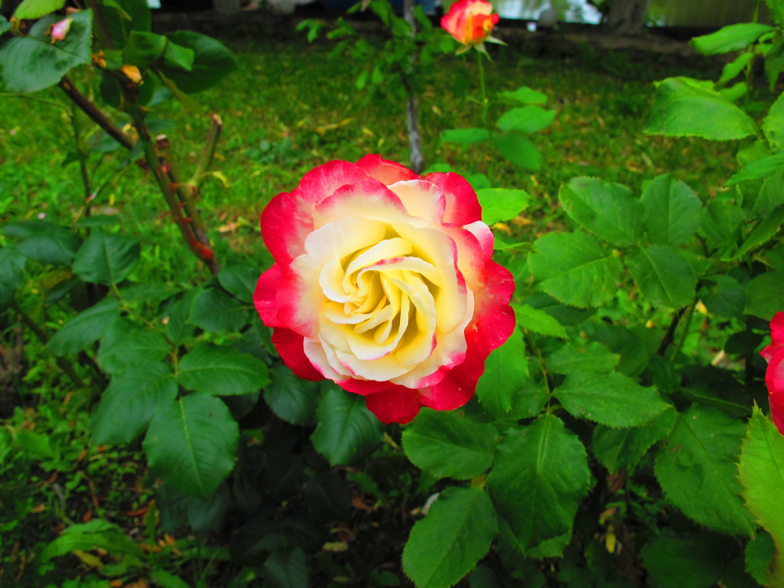trandafir-dunavat