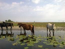 Letea Forest Wild Horses