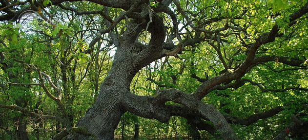 The Knelt Oak - The Caraorman Forest