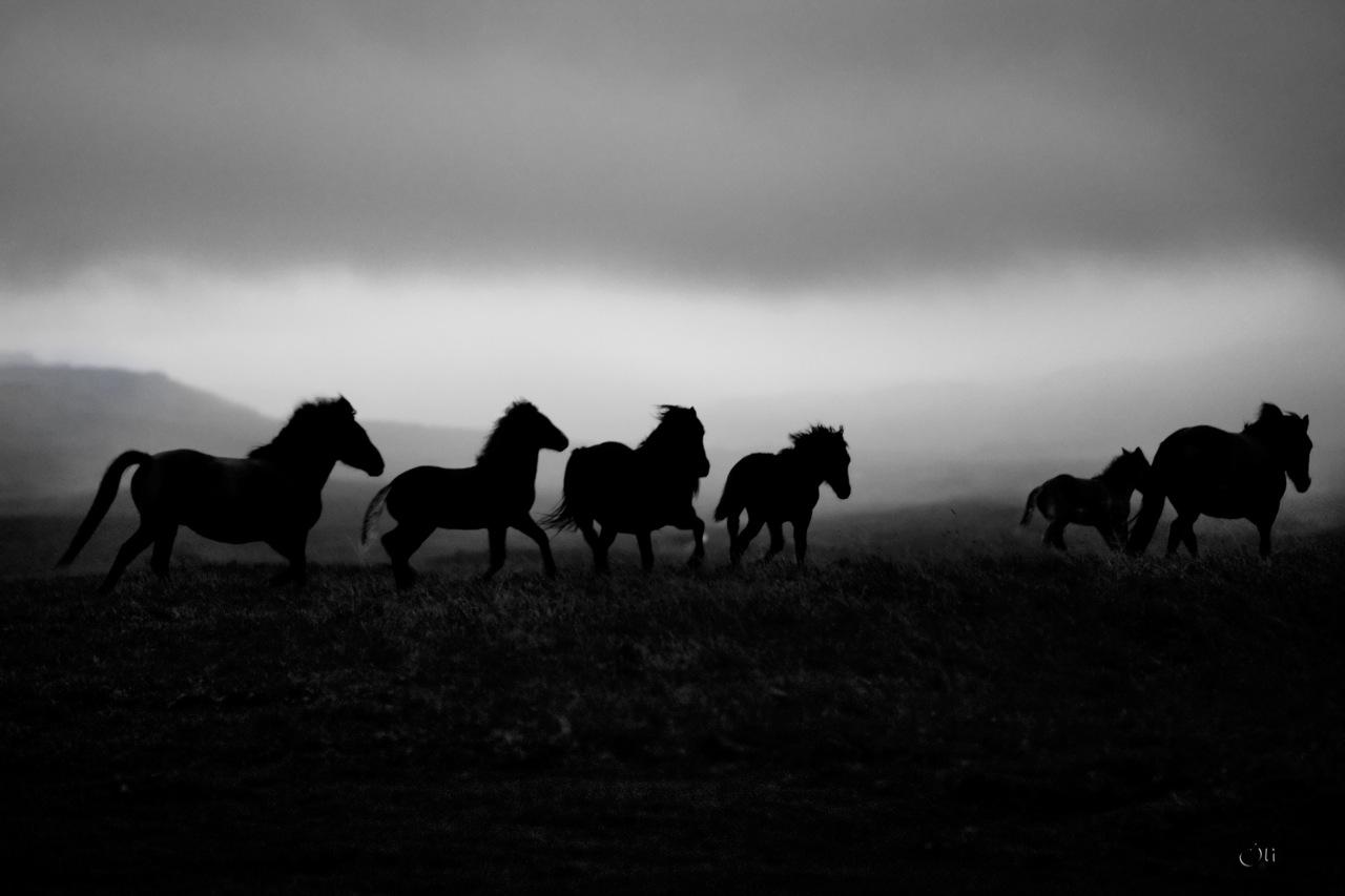 The icelandic horse, west Iceland