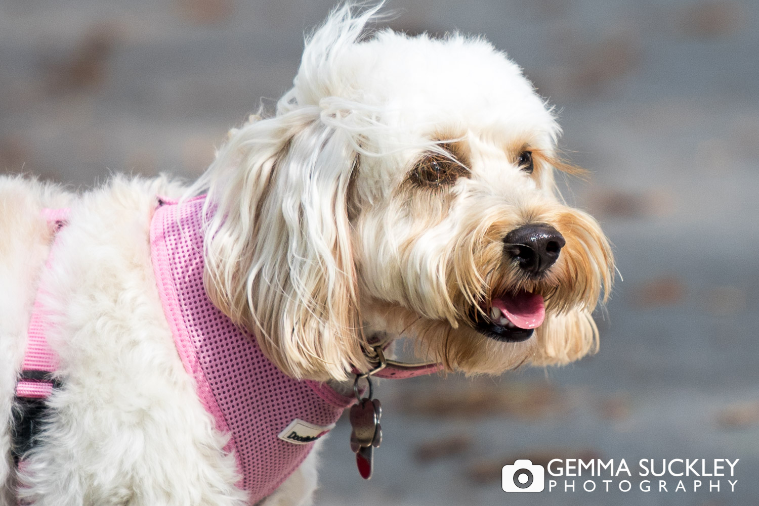 close up photo of a cockapoo dog during an engagement shoot