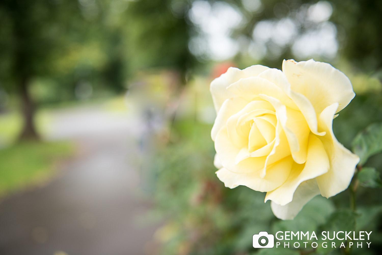 a rose in valley gardens, Harrogate