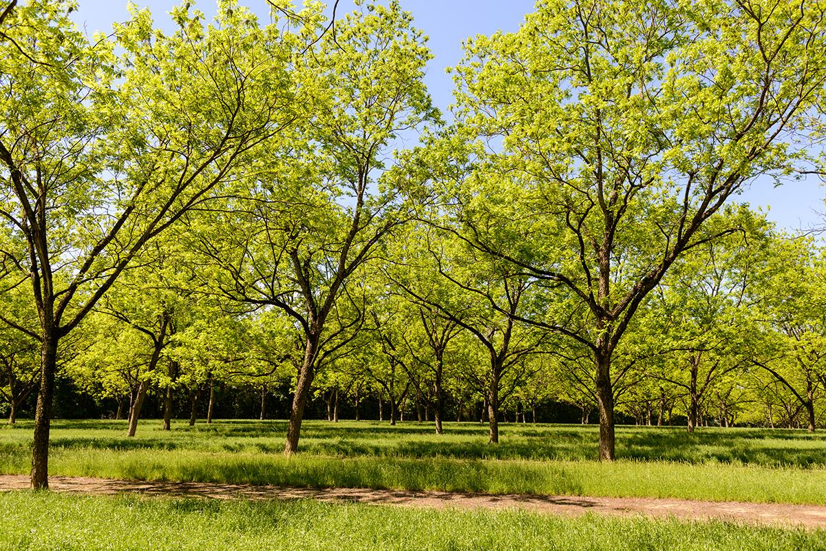 Pecan Ridge Plantation grove