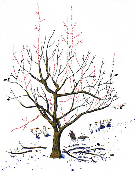 Illustration for an article about orchard trimming, Allers Trädgård.
