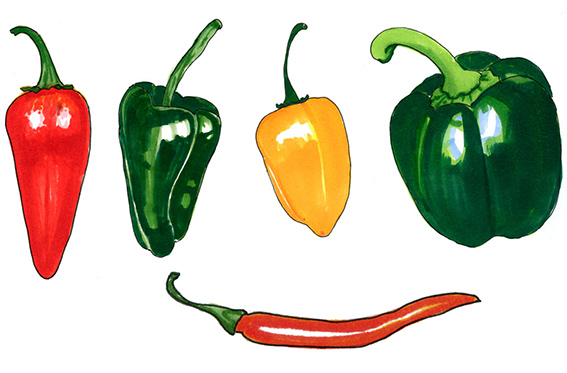 Illustration for and article about chili, Allers Trädgård.
