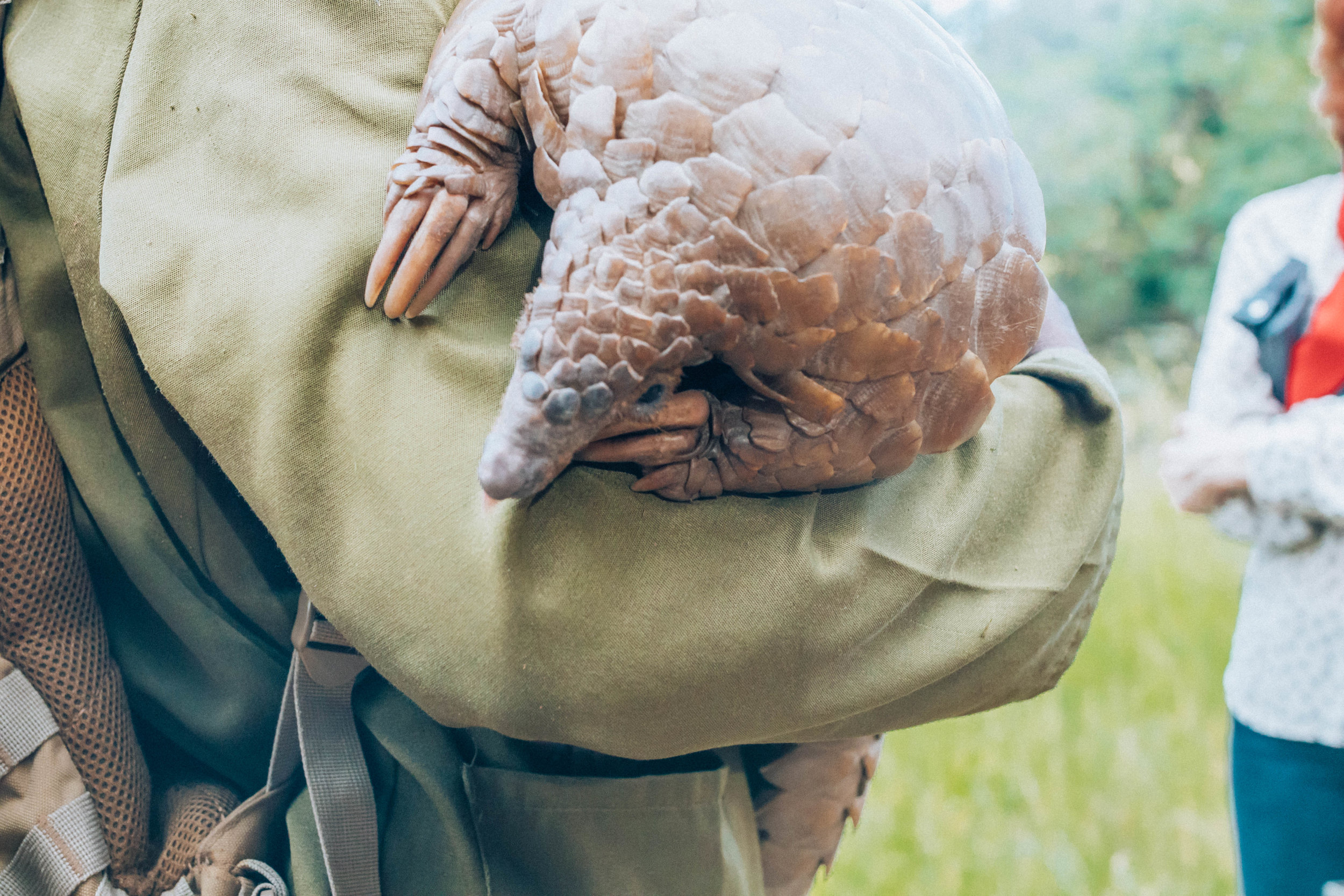 The very rare and endangered pangolin