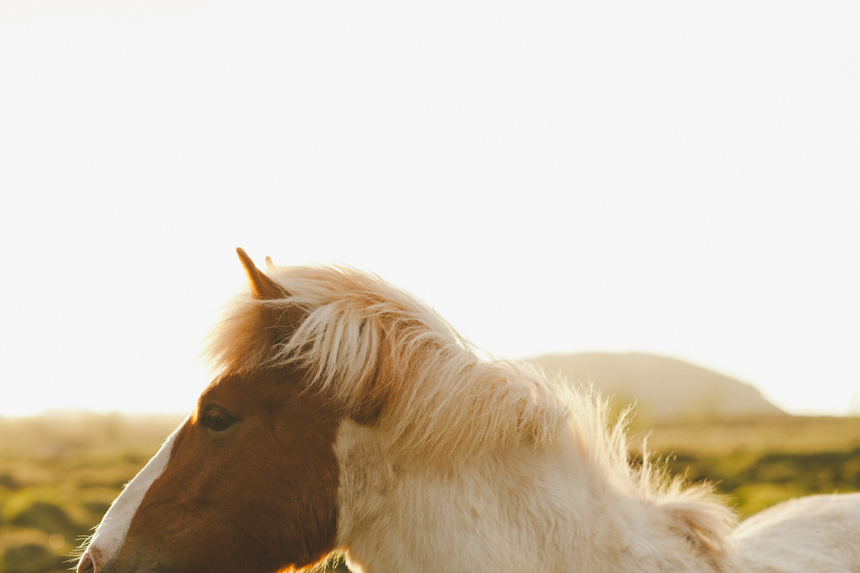 Icelandic Horse Photography