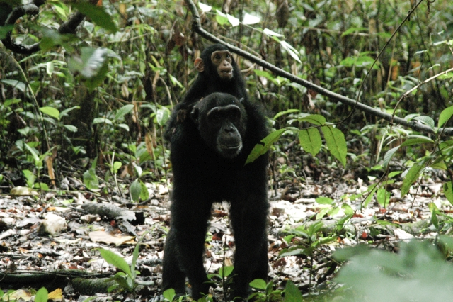 Tanzania Annular Eclipse Tour 2016 Chimps Add On 7.jpg