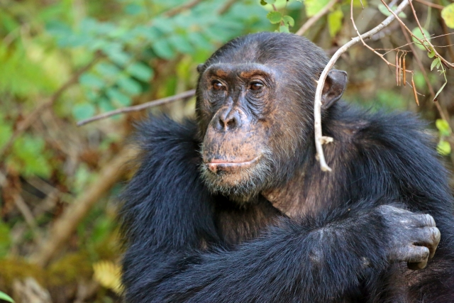 Tanzania Annular Eclipse Tour 2016 Chimps Add On 6.jpg