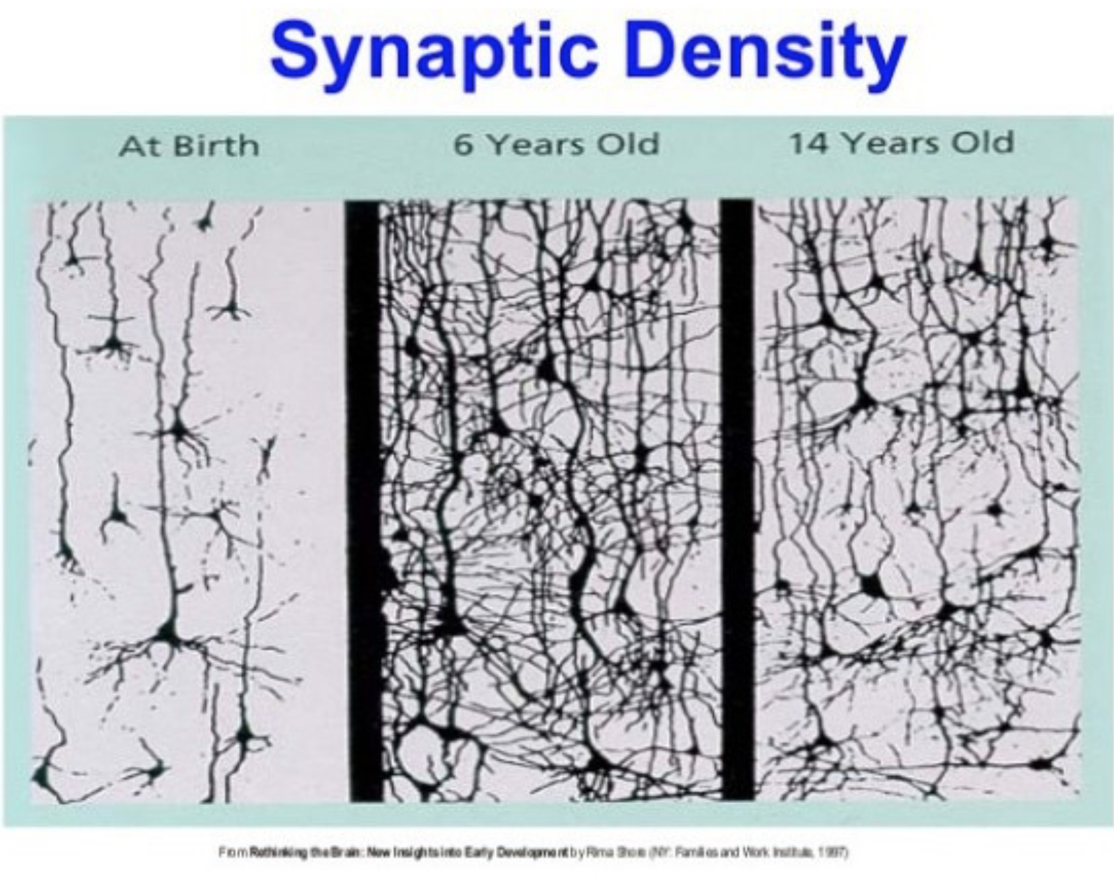 synaptic density.png