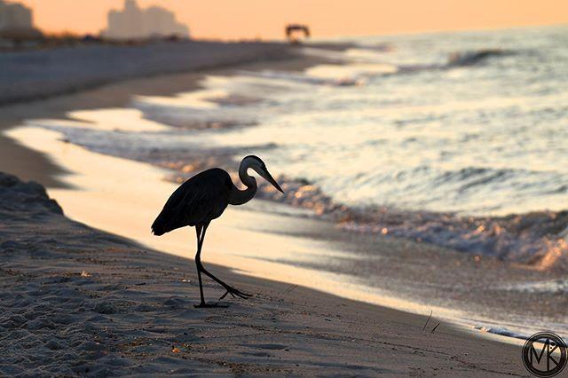 Pretty beach. 🏖☀️🚜🌊 #orangebeachalabama #beach #sunnydays