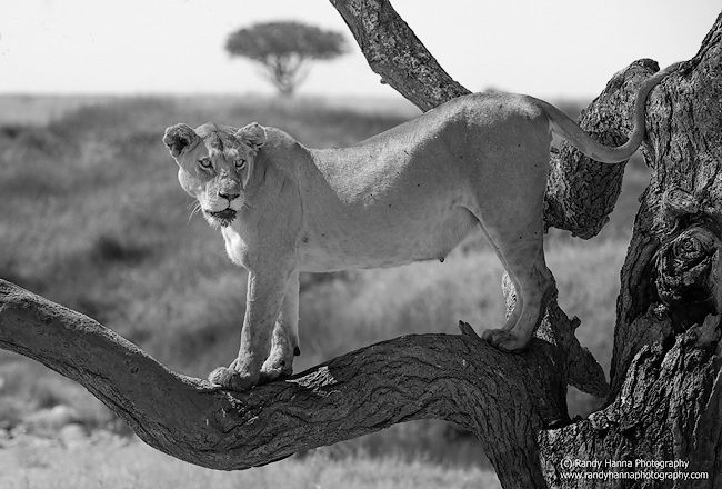 Nikon D800, Nikon 200-400 f/4.0 at 200mm, ISO 200, 1/640 sec @ f/6.3.  Converted to B&W with Nik.