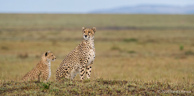 Outside of the Massai Mara Plains, two brothers on alert.  Nikon D3S, 200-400mm VRII, set at 310mm, 1/320 sec, f/5.0, matrix meeting, aperture priority