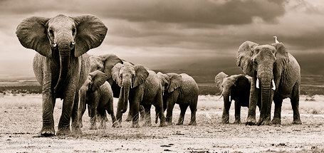 Elephant Crossing I  Nikon D3S, 70-200mm VR f/2.8 @ 125mm, f/8.0 ISO 200 @ 1/250 sec