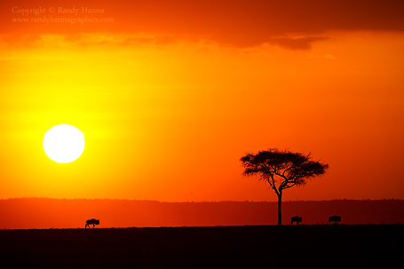 Three Wildebeest Crossing a Mara Sunset  Nikon D3s, 200-400 f/4.o at 400mm, f/8, ISO 200 at 1/125 sec,  tripod mounted.