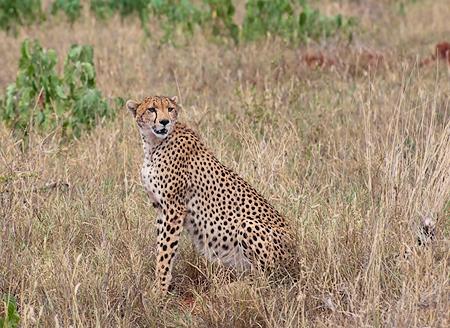 _colleen-cheetah.jpg