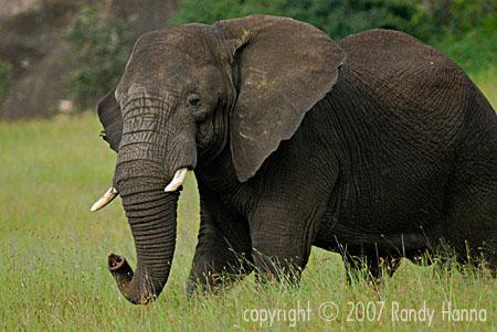 Bull Elephant Warning, Serengeti National Park, Tanzania, Jan 2007  Nikon D200, 200-400 VR f2.8, 1/200 @f5.6 ISO 250