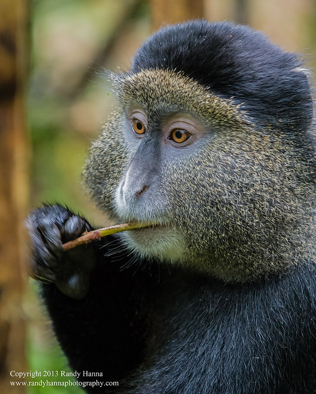 golden_monkey.jpg
