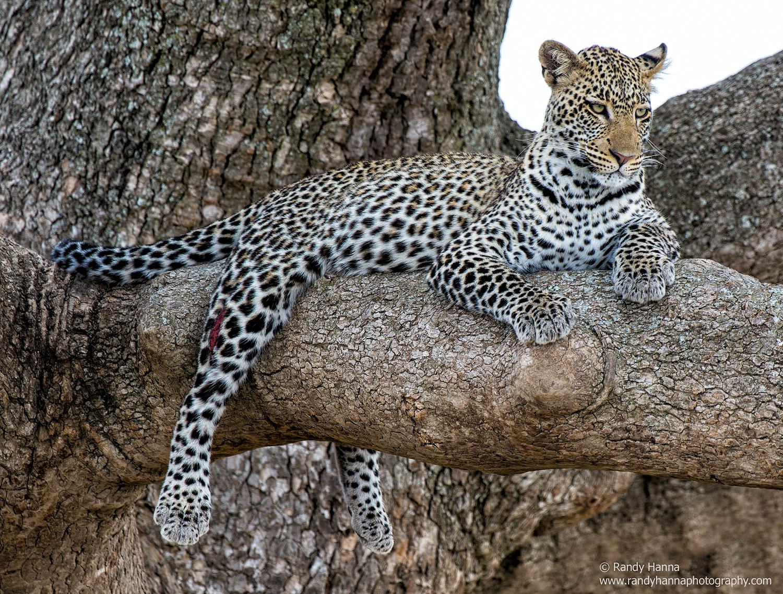 A male leopard enjoys the view across the Serengeti plains