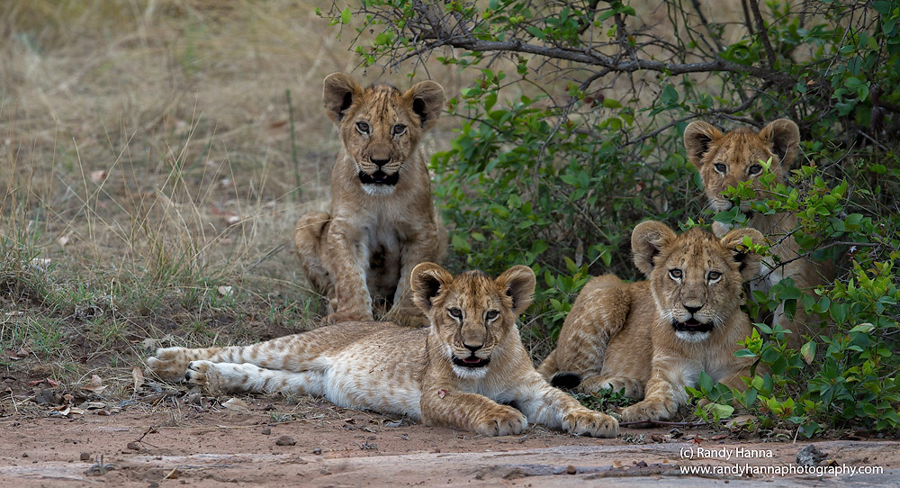lion-cubs-serengeti-day1