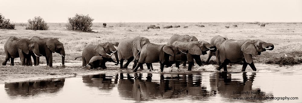 elephants-linyanti