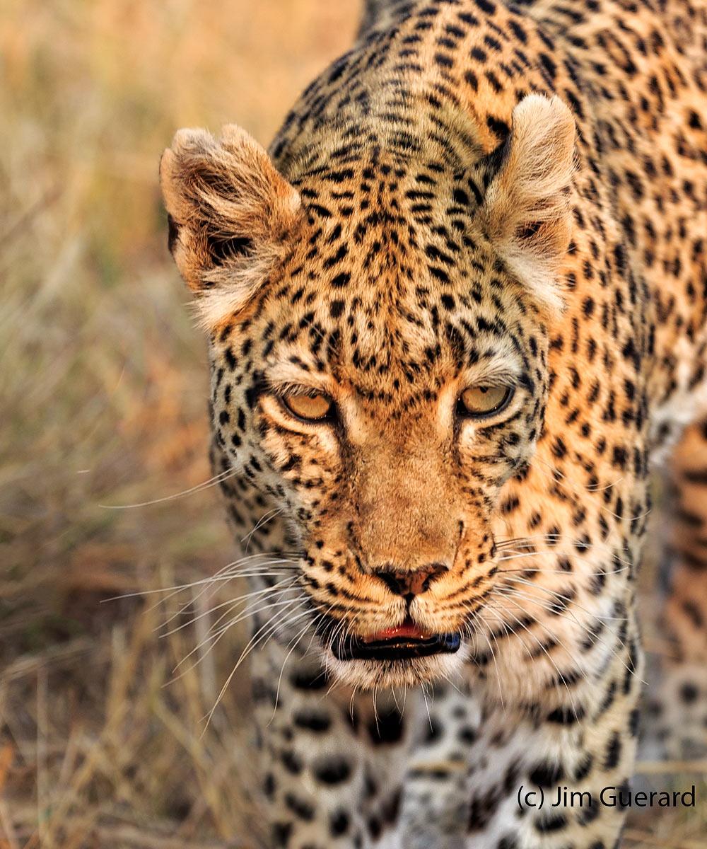 leopard-jim