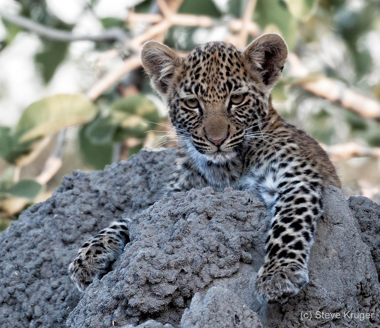 leopard-cub_steveKruger.jpg