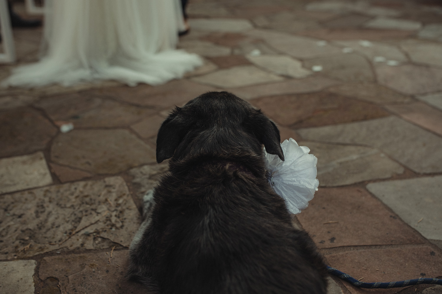 Wedgewood Sequoia Mansion wedding dog walking down the aisle photo